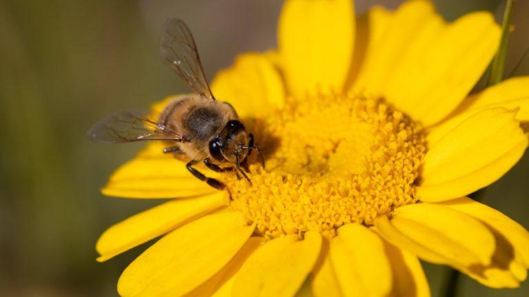 Bipollen – superföda för nykläckta bin och vuxna människor
