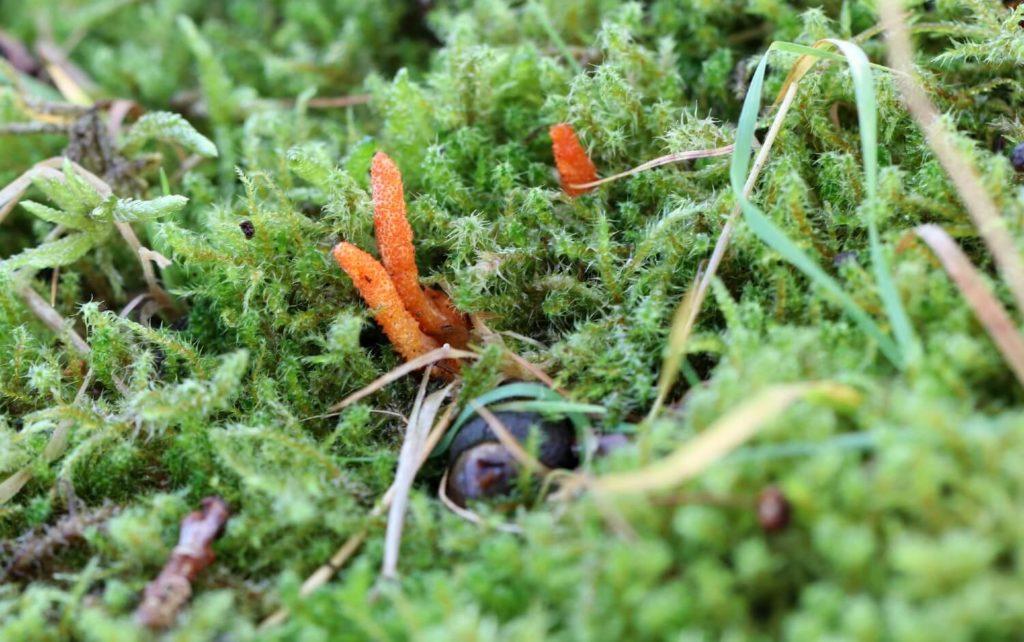 cordyceps i naturen