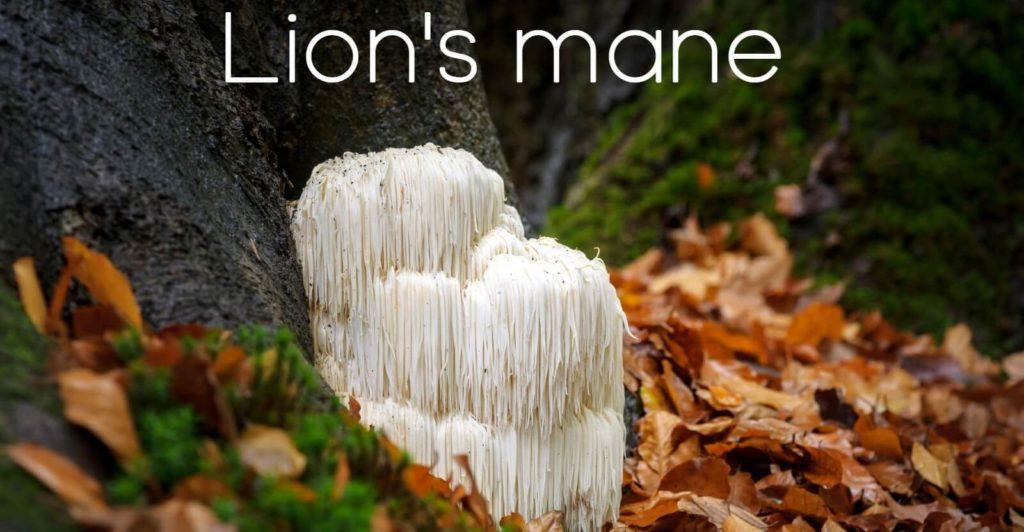 Lion's mane bild